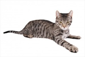 striped tabby