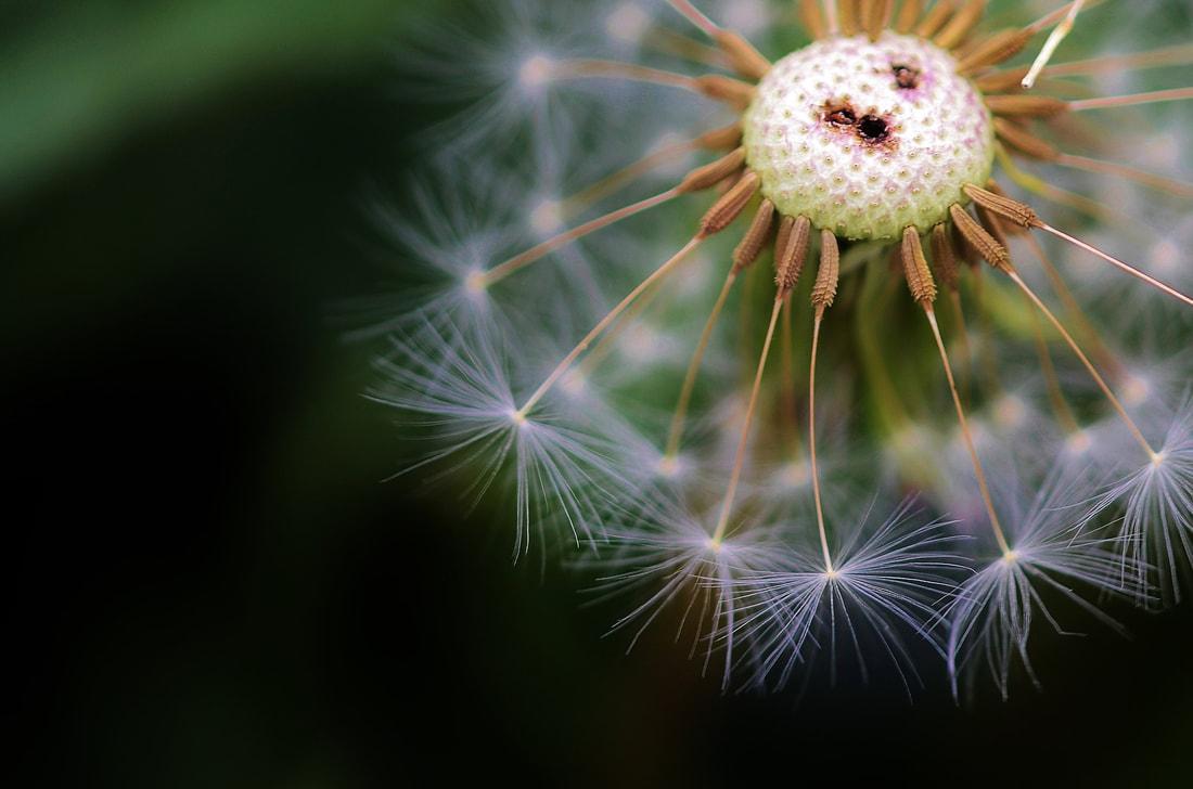 dandelion-2733649-1920-pixabay_orig